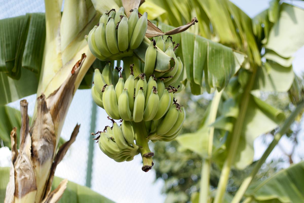Bananer i Thailand